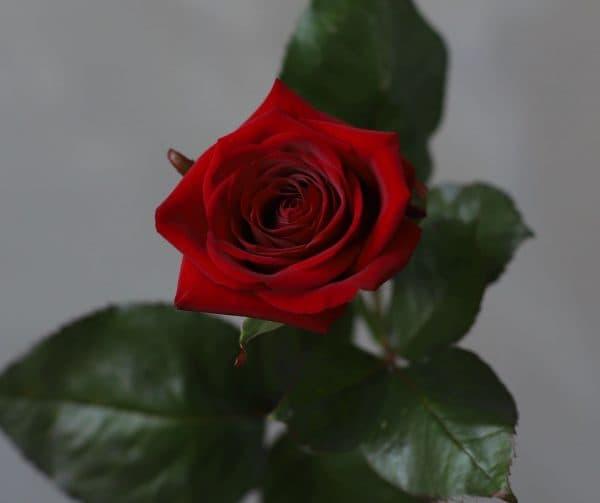 Роза Российская Ред Наоми - Фото 3