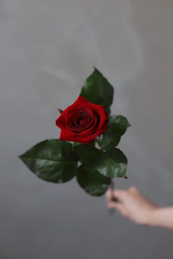 Роза Российская Ред Наоми - Фото 1