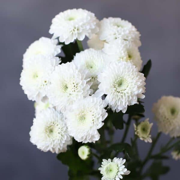 Хризантема Кокос - Фото 79