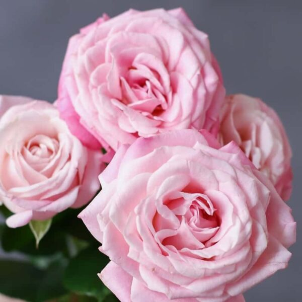 Кустовая роза - Фото 1