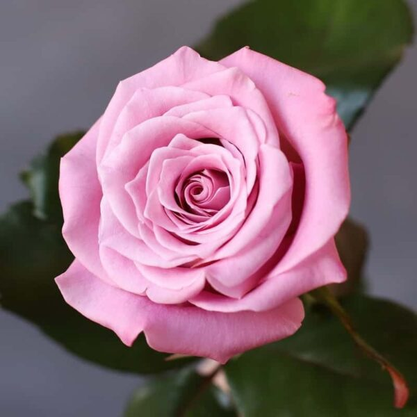 Роза Россия - Фото 1