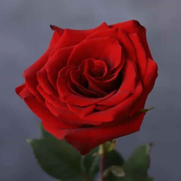 Роза Эквадор - Фото 1
