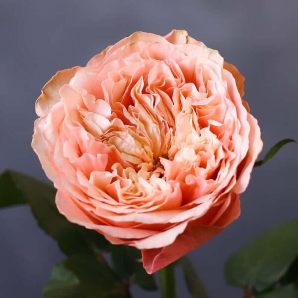 Садовая роза - Фото 1